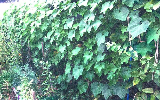 緑のカーテン T.Mさんの応募写真