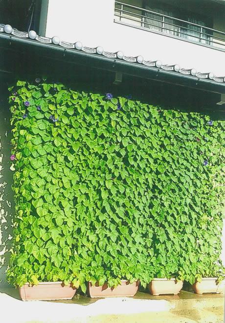 窓いっぱいの緑のカーテン N.Mさんの応募写真
