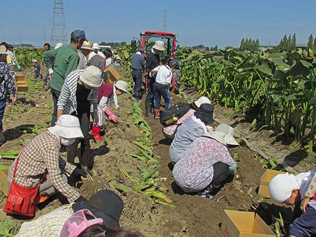 里芋の収穫をしている様子の写真