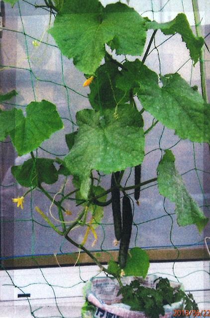 H・Wさん(宇都宮市)のグリーンカーテン写真