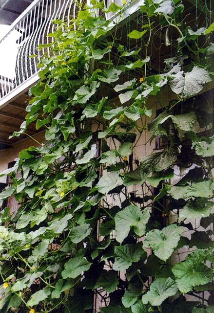 みっちゃんさん(壬生町)のグリーンカーテン写真