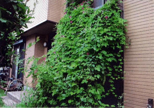 オカメちゃんさん(宇都宮市)のグリーンカーテン写真