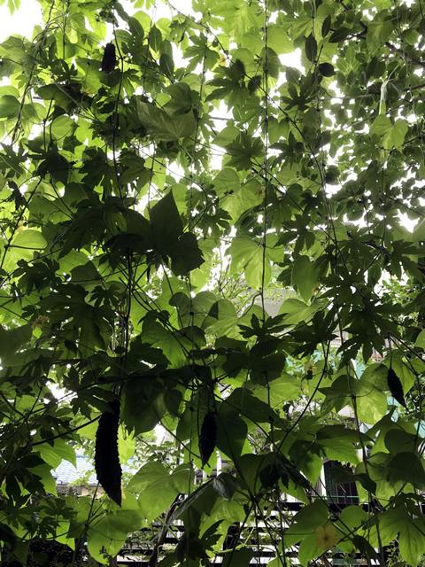 Y.Y(宇都宮市)のグリーンカーテン写真