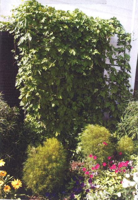 A・Kさん(宇都宮市)のグリーンカーテン写真
