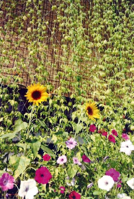 ソレイユさん(壬生町)のグリーンカーテン写真