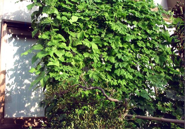 S・Yさん(宇都宮市)のグリーンカーテン写真