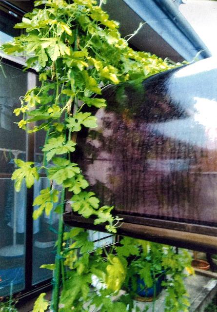 Y・Sさん(上三川町)のグリーンカーテン写真