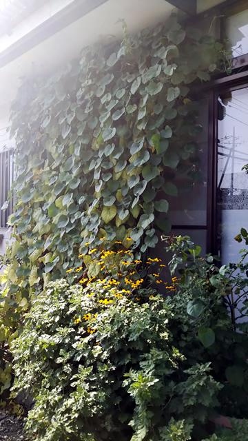 いしざわ さとみさん(宇都宮市)のグリーンカーテン写真