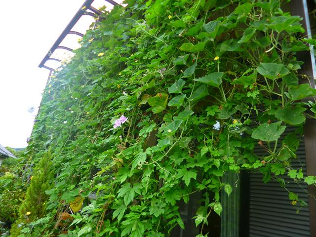 チャロさん(栃木市)のグリーンカーテン写真