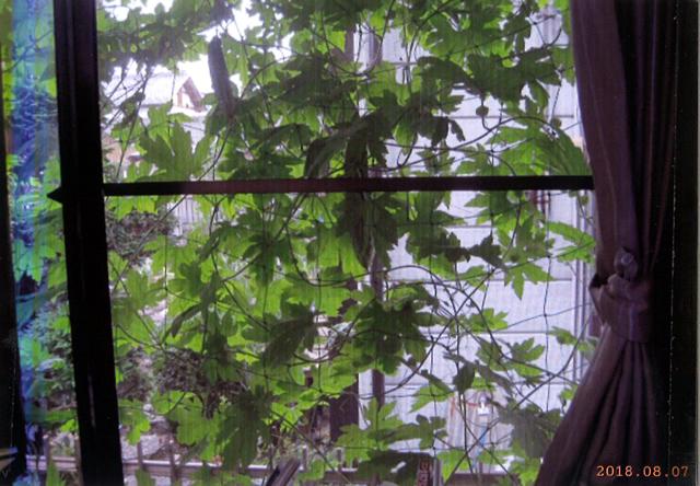 E・Ⅰさん(宇都宮市)のグリーンカーテン写真