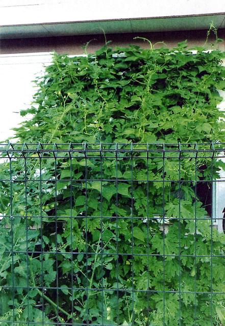J・Tさん(宇都宮市)のグリーンカーテン写真