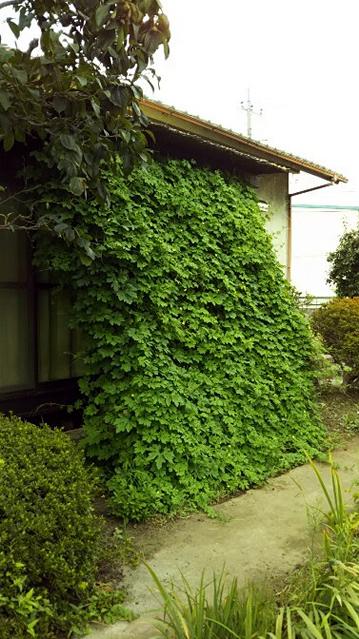 若作りおばさんさん(小山市)のグリーンカーテン写真