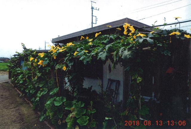 ゆっちゃんさん(下野市)のグリーンカーテン写真