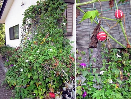 ルネさん(那須烏山市)のグリーンカーテン写真