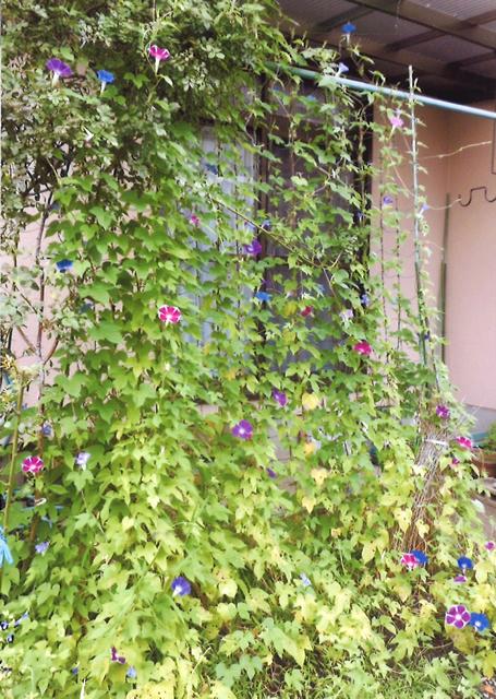 E・Sさん(壬生町)のグリーンカーテン写真