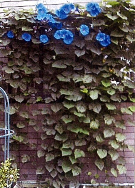 C・Oさん(上三川町)のグリーンカーテン写真