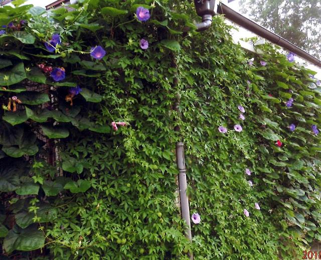 チーちゃんさん(芳賀町)のグリーンカーテン写真