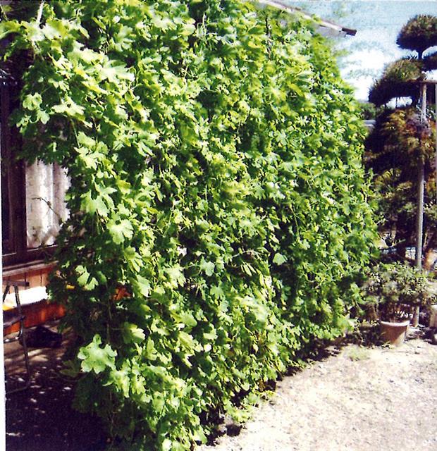 H・Dさん(足利市)のグリーンカーテン写真