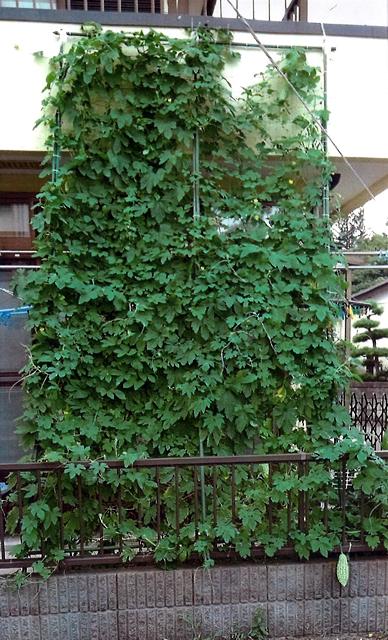 Kyonさん(宇都宮市)のグリーンカーテン写真