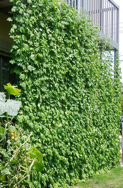 くまぽんさん(小山市)のグリーンカーテン写真