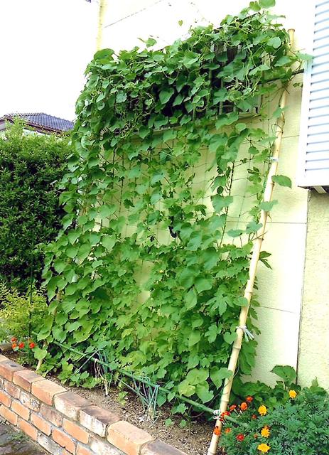 ケンのおばあちゃんさん(壬生町)のグリーンカーテン写真