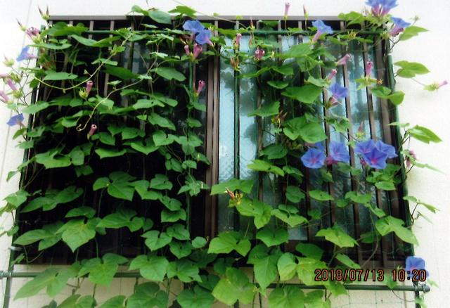 M・Tさん(栃木市)のグリーンカーテン写真