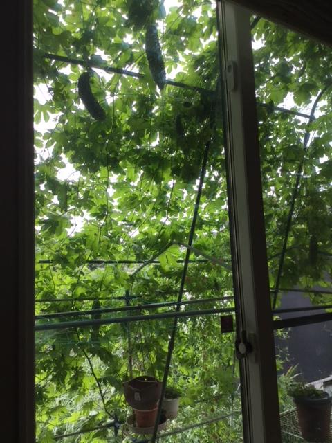 こずままさん(下野市)のグリーンカーテン写真