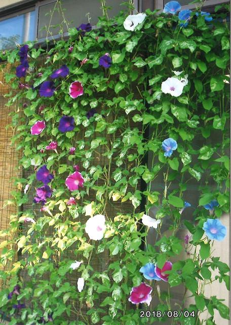 あこさんさん(那須塩原市)のグリーンカーテン写真