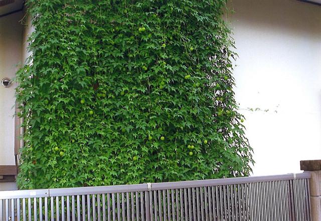 H・Sさん(大田原市)のグリーンカーテン写真