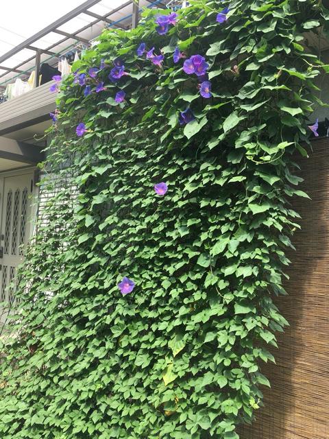 黒酢納豆さん(壬生町)のグリーンカーテン写真