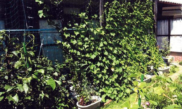 K・Sさん(宇都宮市)のグリーンカーテン写真