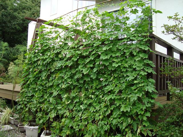 ぴーちゃんさん(那須町)のグリーンカーテン写真