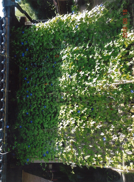 N・Aさん(栃木市)のグリーンカーテン写真