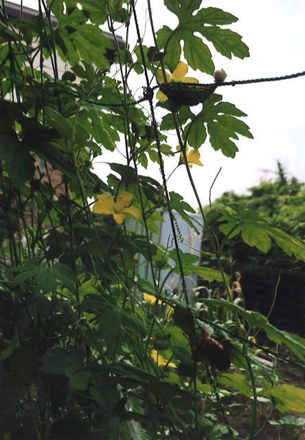 りゅうのままさん(宇都宮市)のグリーンカーテン写真