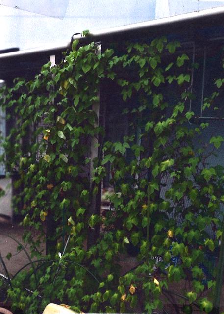 ごまちゃんさん(宇都宮市)のグリーンカーテン写真