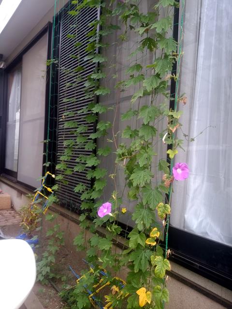 こうかさん(宇都宮市)のグリーンカーテン写真