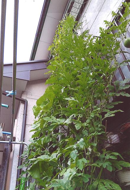 うどんママさん(日光市)のグリーンカーテン写真