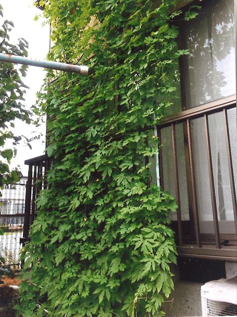 みやびちゃんさん(小山市)のグリーンカーテン写真