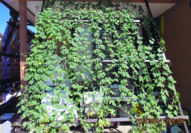 クマサチさん(鹿沼市)のグリーンカーテン写真