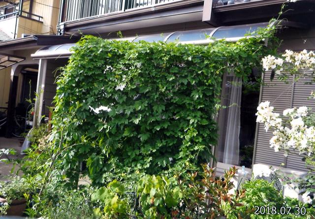 M・Oさん(小山市)のグリーンカーテン写真