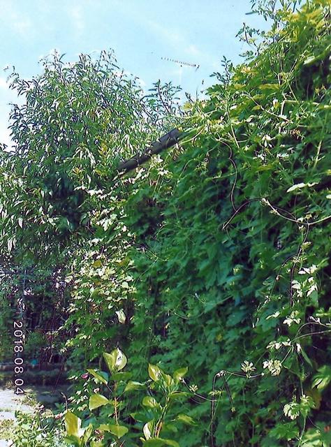 T・Hさん(宇都宮市)のグリーンカーテン写真