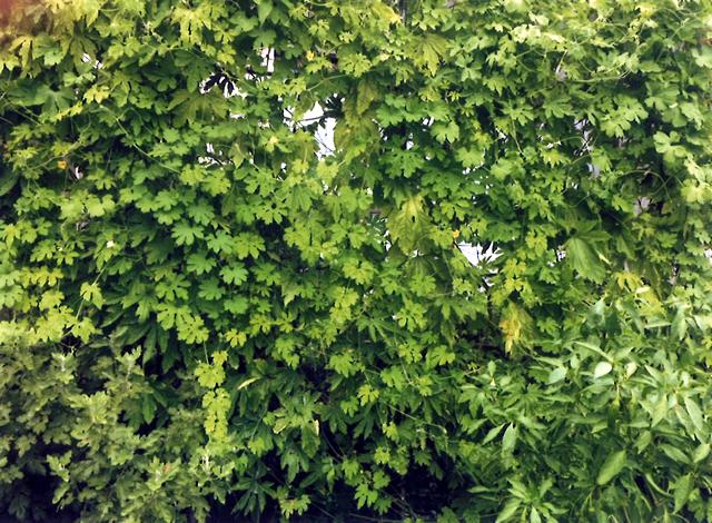 ゆずママさん(宇都宮市)のグリーンカーテン写真