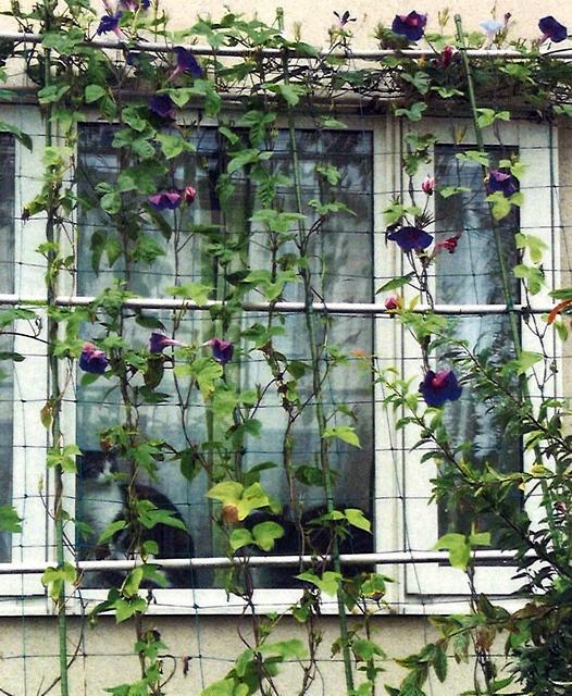 ぐりさん(上三川町)のグリーンカーテン写真