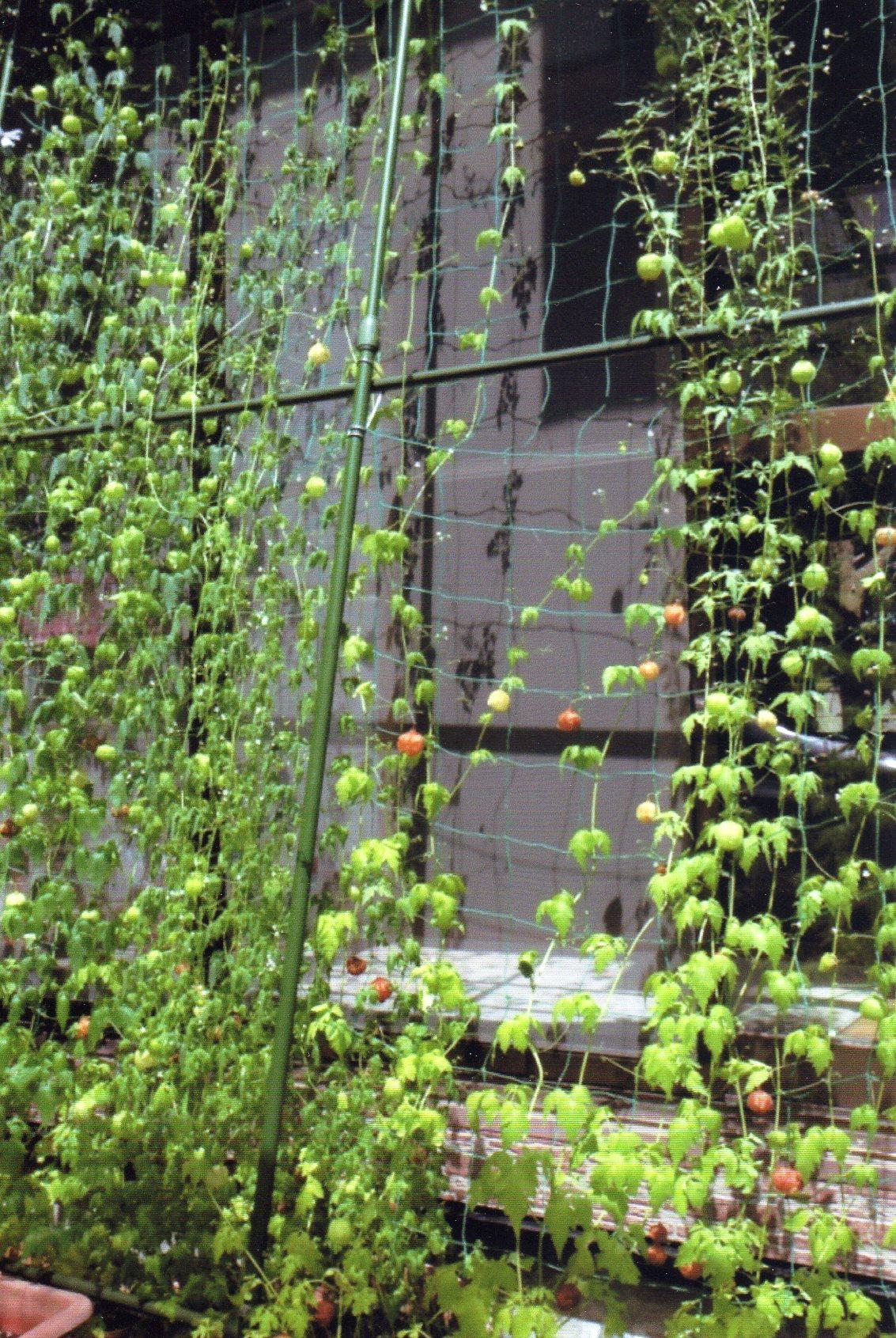 とちぎコープ 我が家のグリーンカーテン大作戦 取り組み紹介(2016年度)
