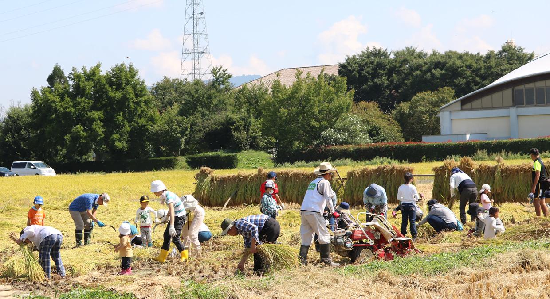稲刈りをしている写真