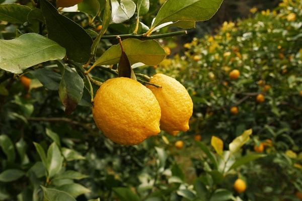 レモンの苗木1,408本を生産者に寄贈しました