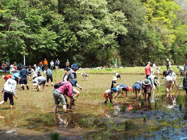 多古旬のお米くらぶ2019 〈田植え〉を開催しました