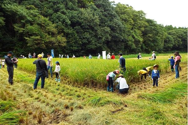 多古旬のお米くらぶ2019〈稲刈り〉を開催しました